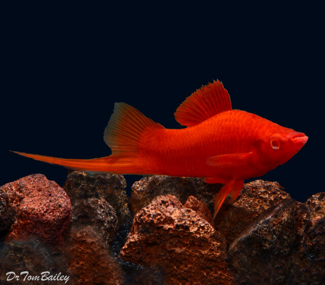 "Premium MALE Red Velvet Swordtail, 1.5"" to 2"" long (Males only no females in this code.)"