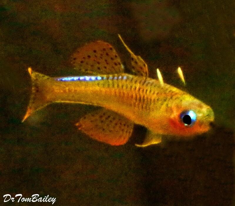 Premium, New and Rare, Red Neon Blue Eyes, Pseudomugil luminatus, 0.75