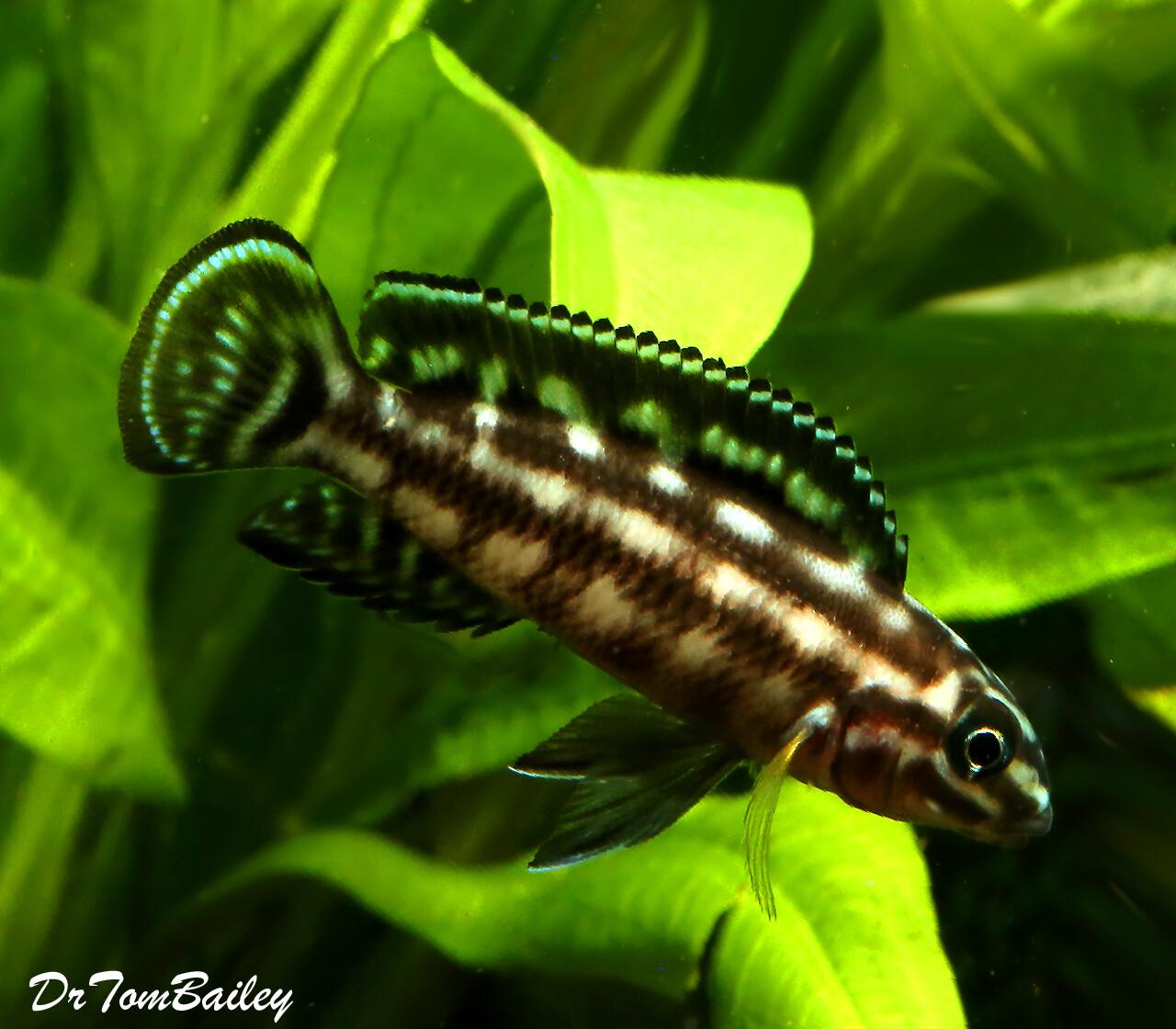 "Premium Lake Tanganyika Plaid Juli Cichlid, Julidochromis marlieri, 1.5"" to 2"" long"