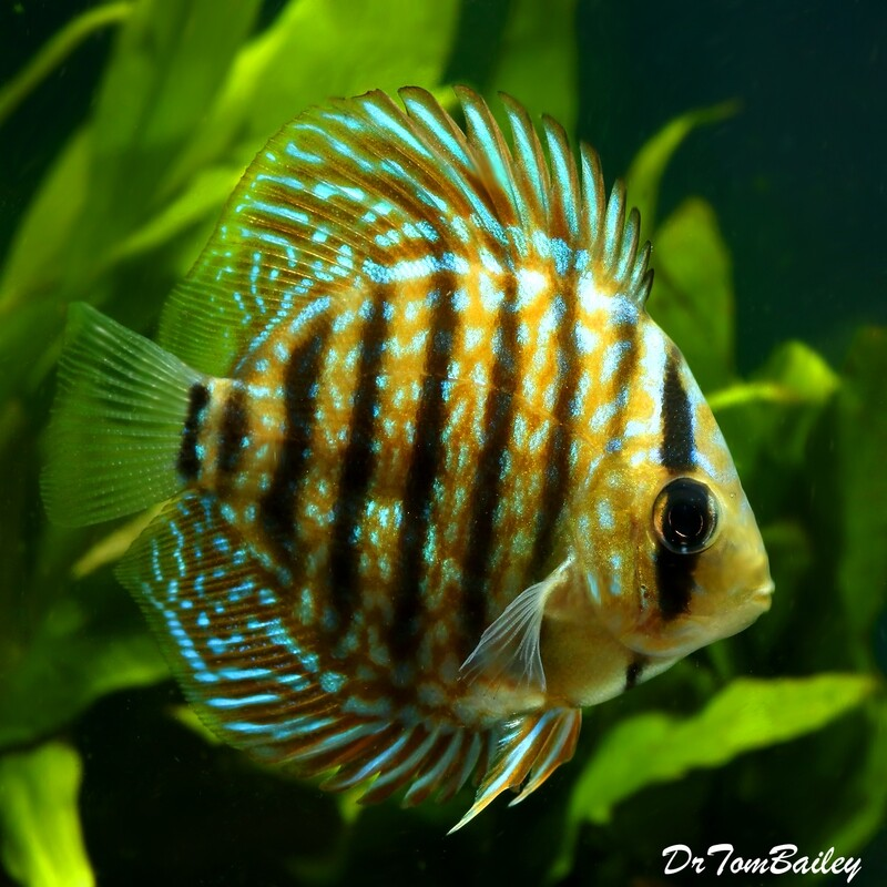 Premium Royal Blue Discus, 2.5