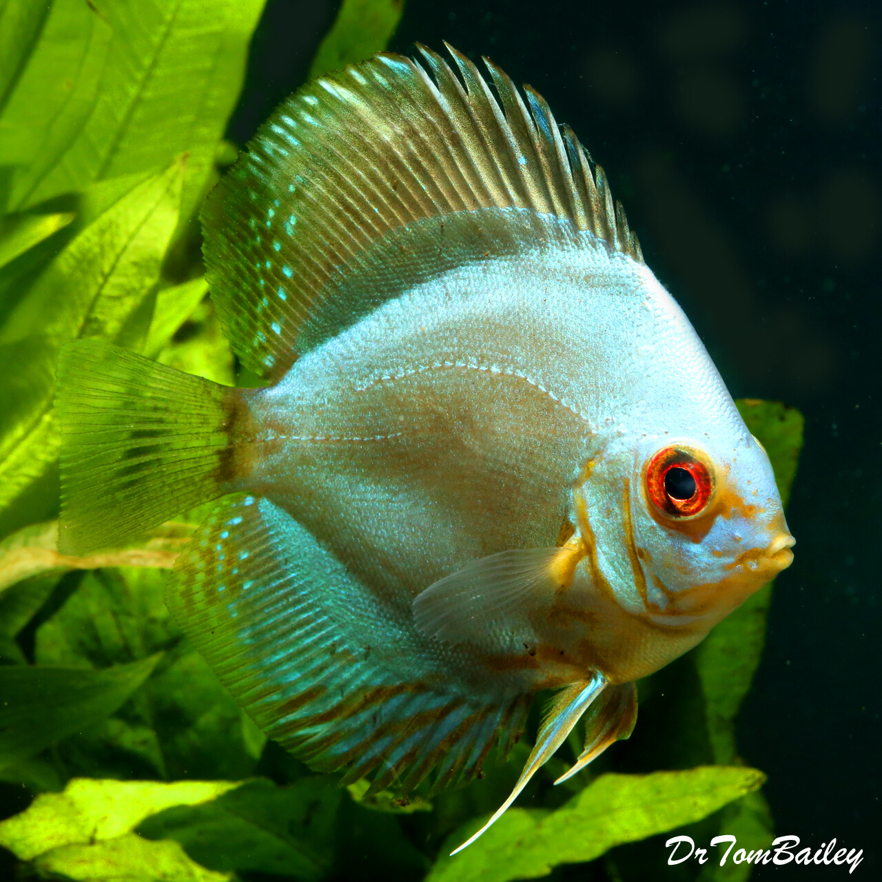 "Premium WYSIWYG Blue Diamond Discus, 3"" to 3.5"" long, in our tank X-63."