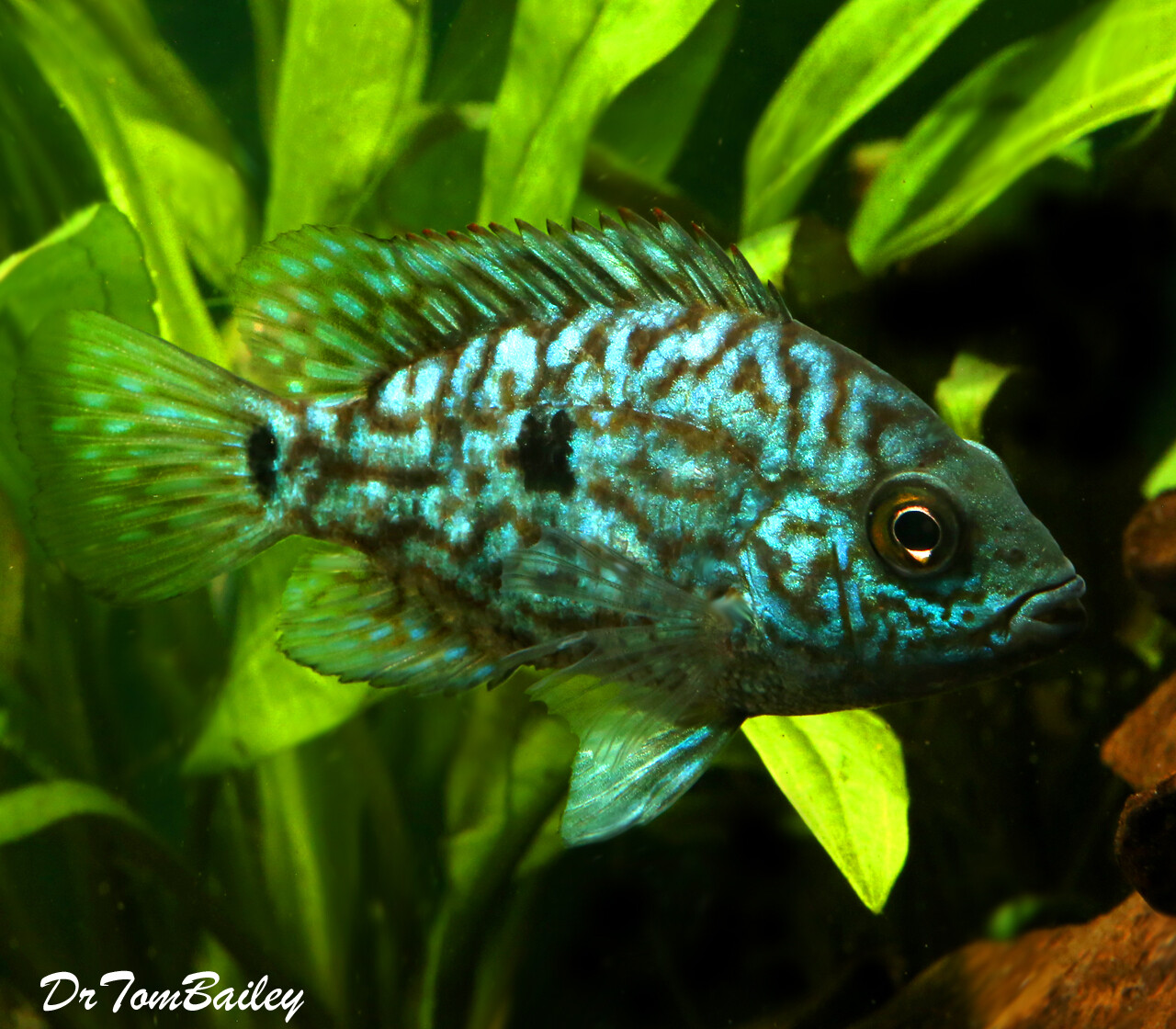 """Premium, New & Rare, Electric Blue Texas Cichlid, 2.5"""" to 3"""" long. Very colorful and nice."""
