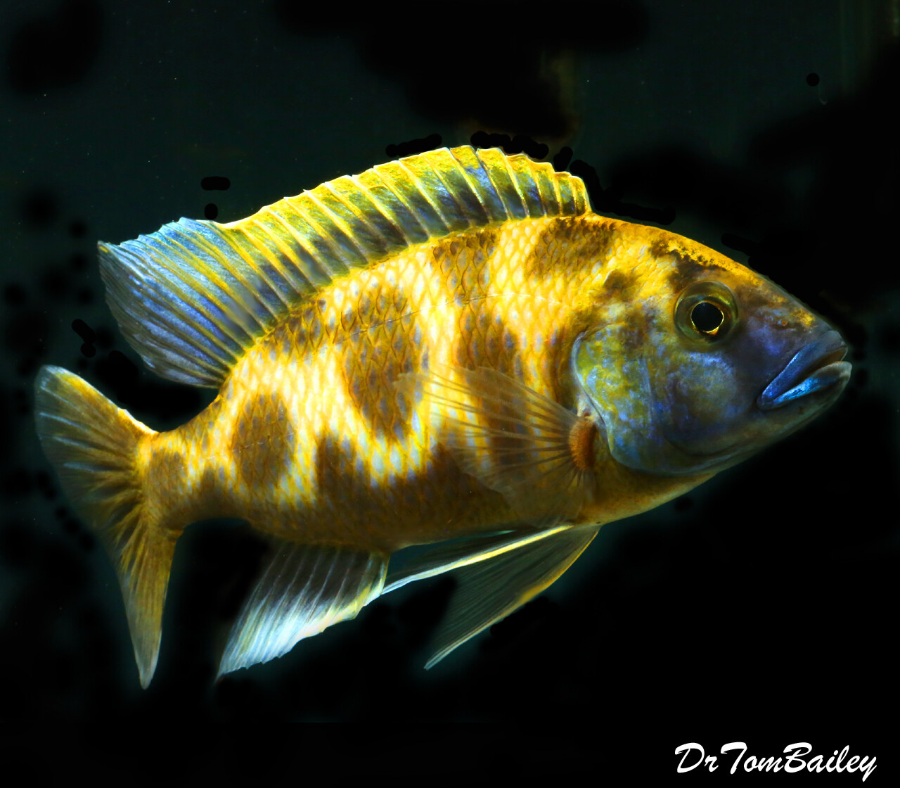 "Premium MALE WYSIWYG Lake Malawi Venustus Haplo Cichlid, 6"" to 7"" long, In our tank V-63"