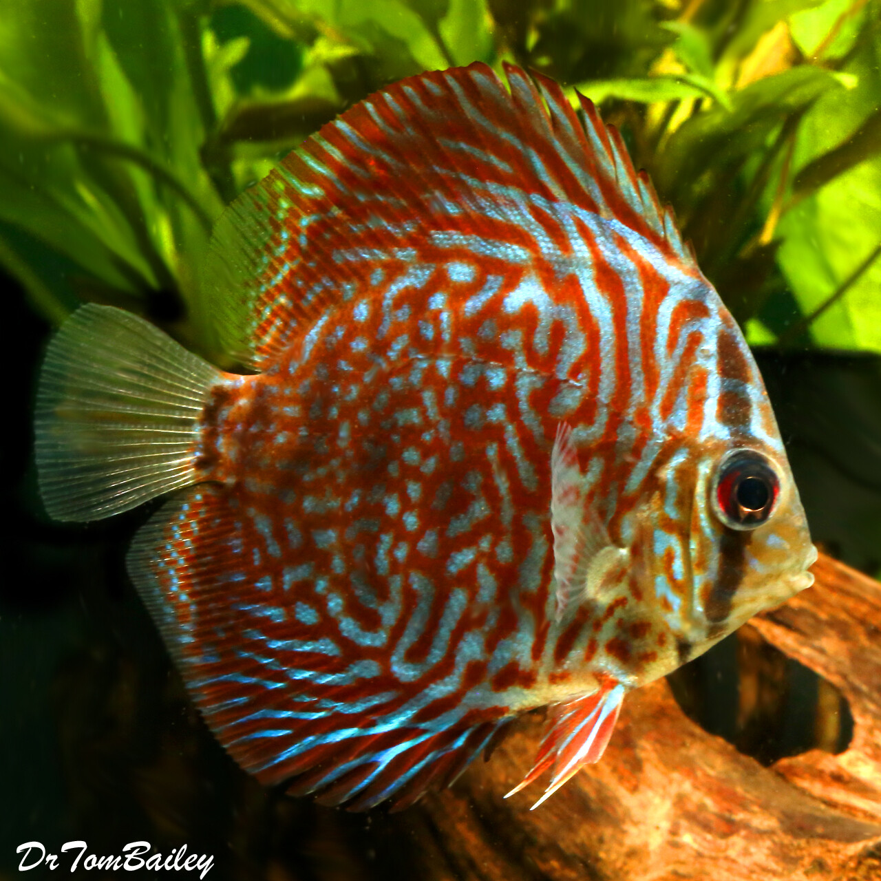 "Premium Tiger Red Discus, 2.5"" to 3"" long"