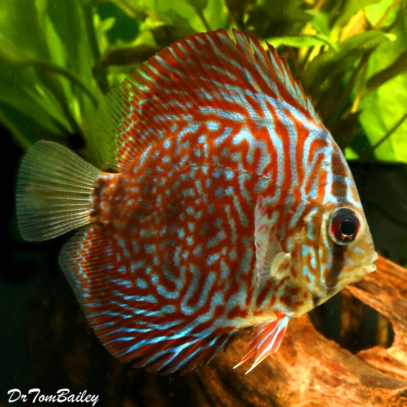 Premium Tiger Red Discus, 2.5