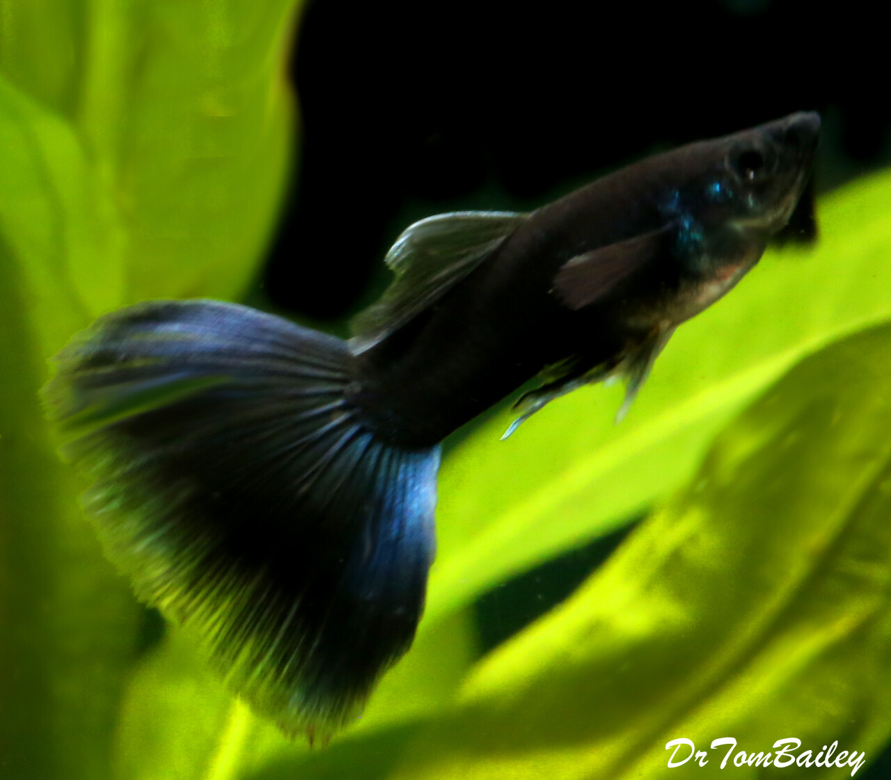 """Premium MALE, Rare, Moscow Black Fancy Guppy, 1"""" to 1.5"""" long"""