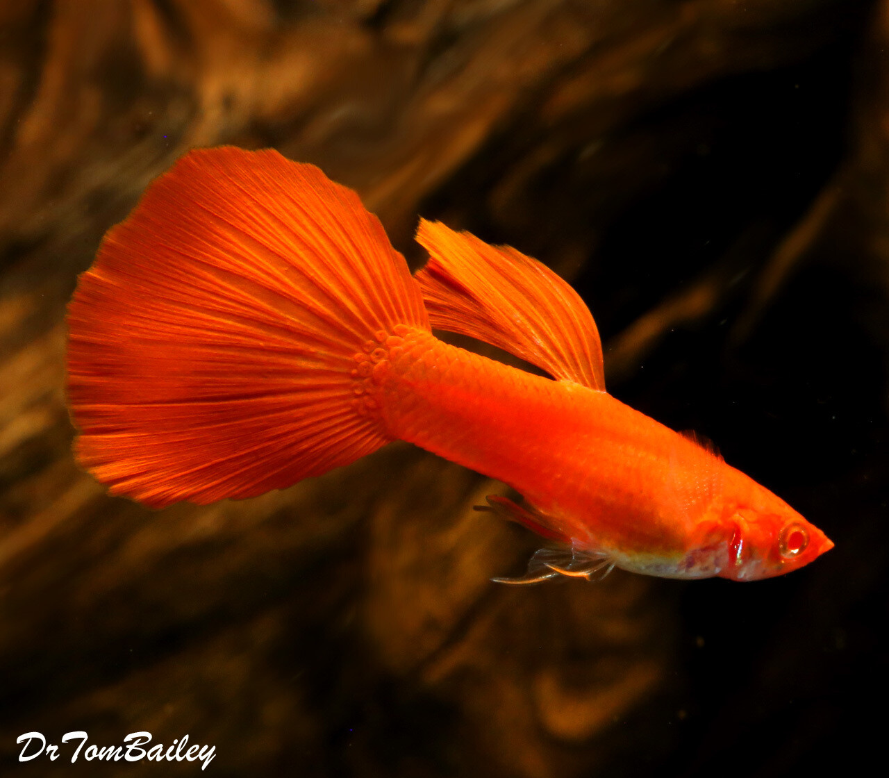 "Premium MALE, New and Rare, Red Eye Red Fancy Guppy, 1"" to 1.5"" long"