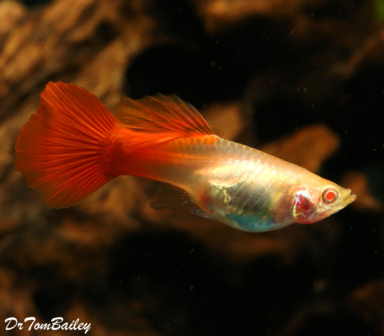 """Premium FEMALE, New and Rare, Red Eye Red Fancy Guppy, 1"""" to 1.5"""" long"""