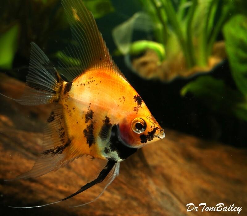 Premium New Rare, Red Koi Angelfish, 1.5