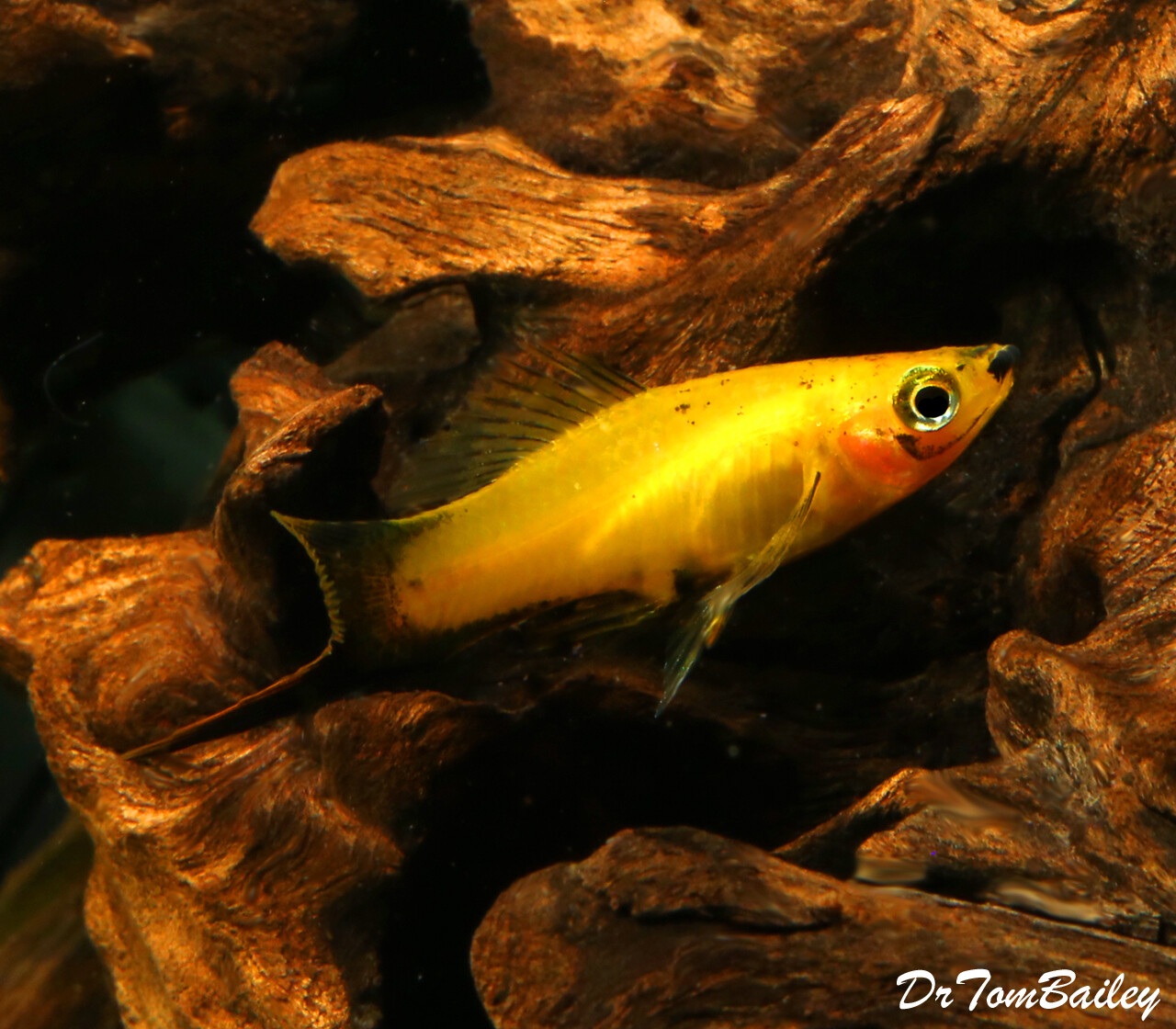 "Premium MALE Marigold Wag Swordtail, 1.5"" to 2"" long"