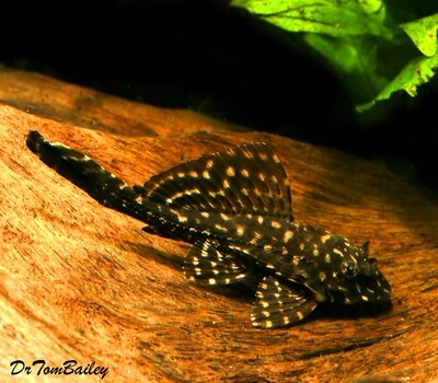 Premium White Spotted Sailfin Pleco, Pterygoplichthys gibbiceps, L001 and L022, Size: 2
