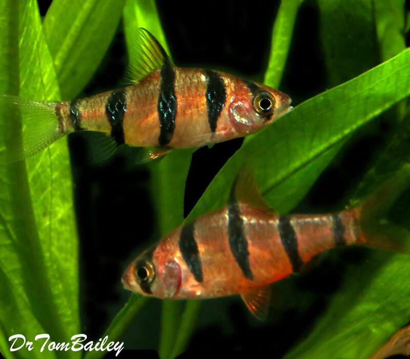 """Premium, Rare and New, 5-Banded Barb, 1"""" to 1.2"""" long"""