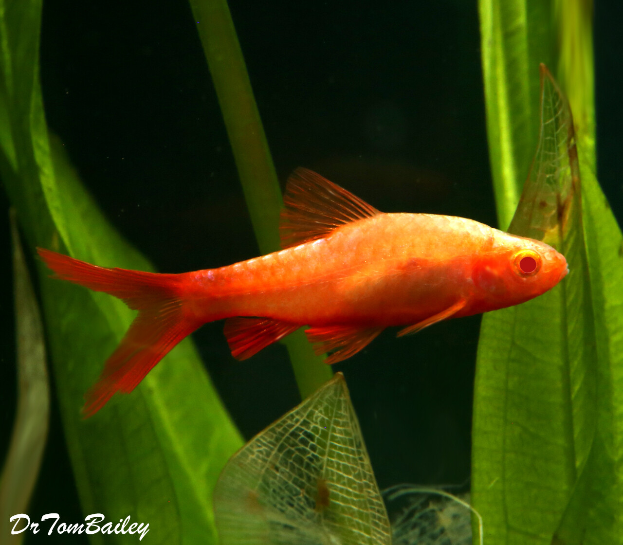 """Premium Rare New, Red Eye Veiltail Cherry Barb , 1"""" to 1.2"""" long"""