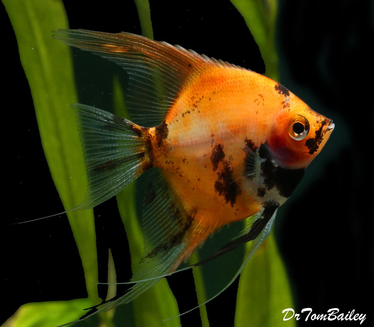 """Premium New Rare, Red Koi Angelfish, 1.5"""" to 2"""" tall"""