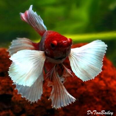Premium MALE Dumbo Ear Halfmoon Betta Fish, Size: 1.5