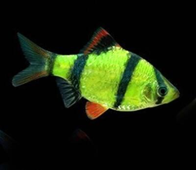 Premium Electric Very-Green GloFish Tiger Barb, Size: 1.5