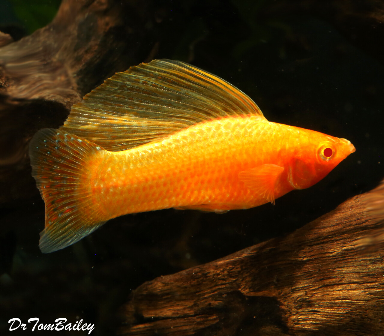 "Premium MALE Gold Sailfin Molly, 2"" to 2.5"" long"