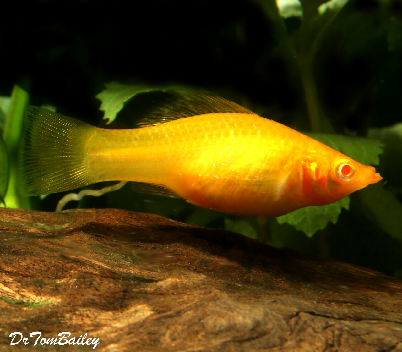"Premium FEMALE Gold Sailfin Molly, Size: 1.5"" to 2"""
