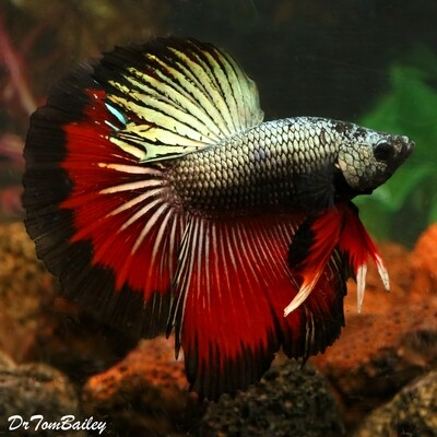Premium MALE Assorted Dragonscale Halfmoon Betta Fish, Size: 2.5