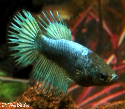 Premium FEMALE Green Crowntail Betta Fish, Size: 1