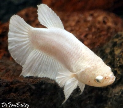 Premium FEMALE Rare Pearl White Halfmoon Betta Fish, Size: 1.5