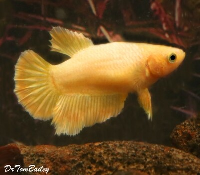 Premium FEMALE Rare Golden Halfmoon Betta Fish, Size: 1.5