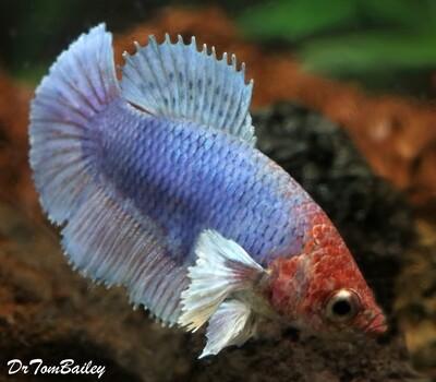 Premium FEMALE Rare Blue Dumbo Ear Halfmoon Betta Fish, Size: 1