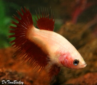 Premium FEMALE Rare Pink Cambodian Crowntail Betta Fish, Size: 1
