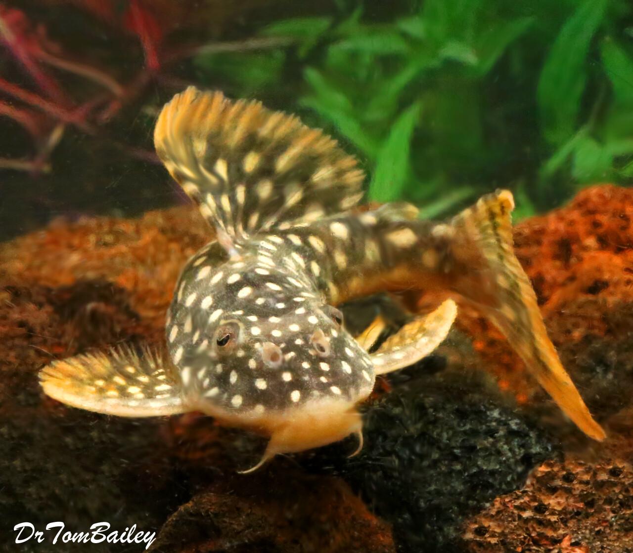 "Premium, Rare and New, Tank Raised Sunshine Pleco, Scobinancistrus aureatus, L014, Size: 3"" to 3.5"""