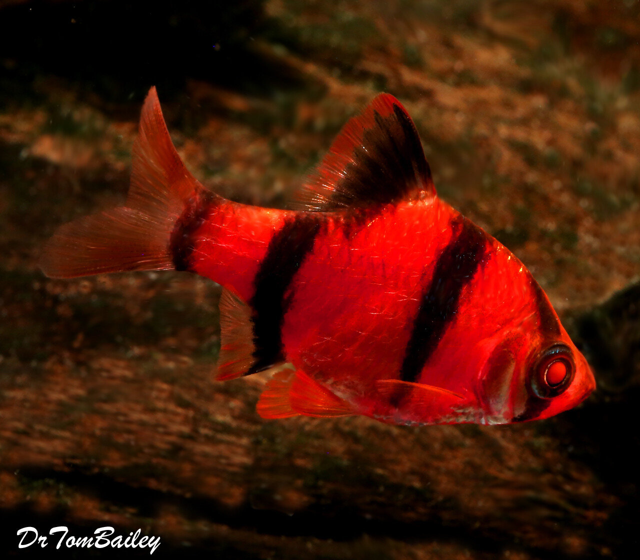 "Premium Starfire Very-Red GloFish Tiger Barb, Size: 1"" to 1.5"""