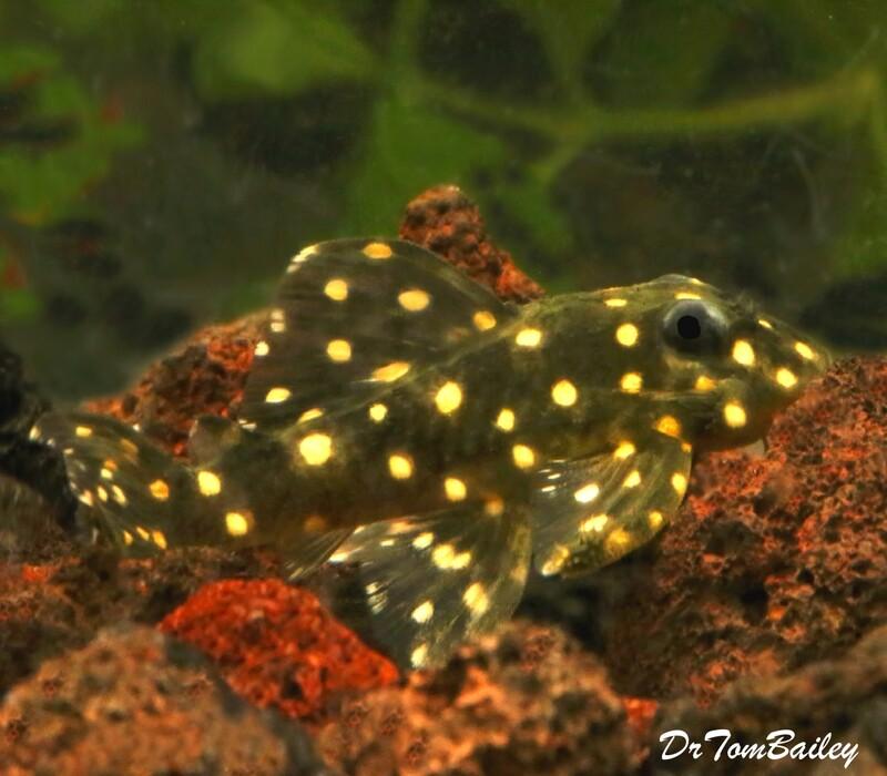Premium Rare WILD, Mustard Spot Pleco, Panaqolus albomaculatus, LDA031, Size: 2