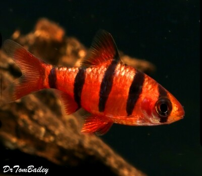 Premium Rare and New, 5-Banded Barb, Desmopuntius hexazona, Size: 1