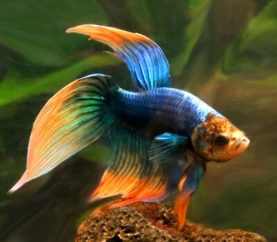 Premium WYSIWYG, MALE Unique Betta Fish, Size: 2.5