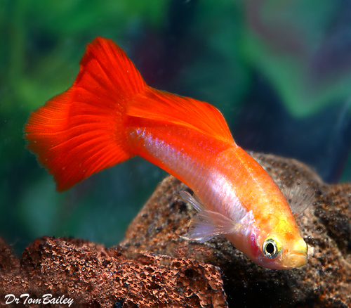 "Premium MALE Coral Platinum Fancy Guppy, 1"" to 1.5"" long"