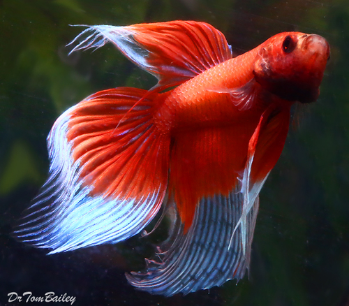 "Premium MALE Butterfly Betta Fish, 2"" to 2.5"" long"