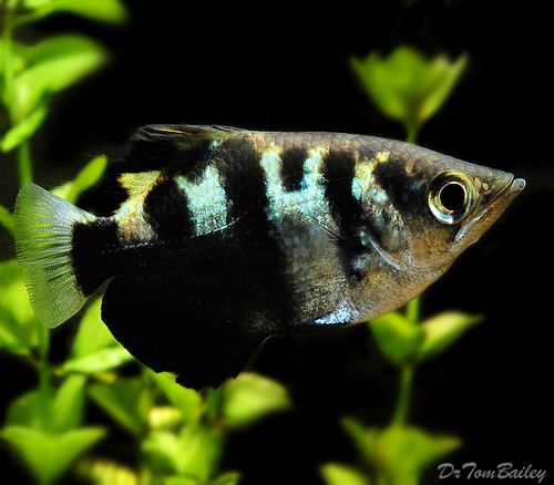 "Premium Wild, Archer Fish, 2"" to 2.5"" long"