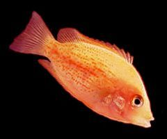 "Premium Orange Chromide Cichlid, 1.5"" to 2"" long"