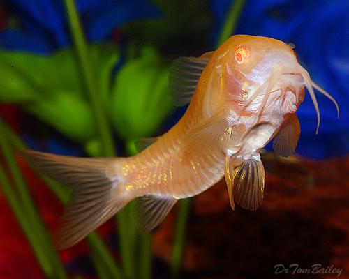 "Premium Albino Aeneus Corydoras Catfish, 1"" to 1.5"" long"