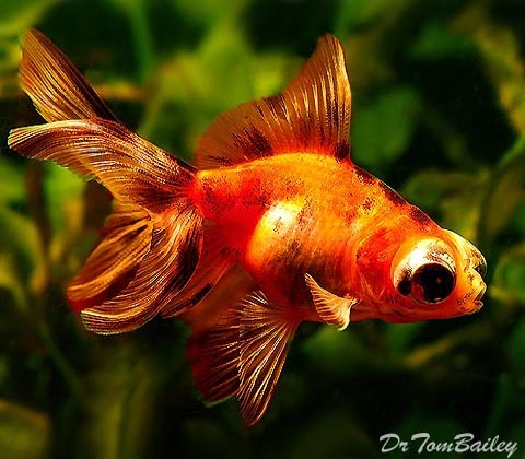 "Premium Calico Telescope Goldfish, 1.5"" to 2"" long"