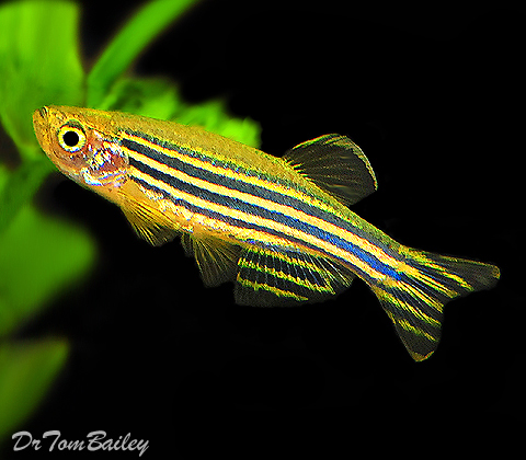 "Premium Zebra Danio, 1"" to 1.5"" long"