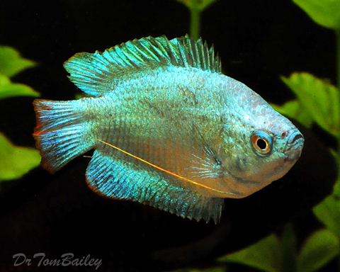 "Premium Young Male Cobalt Blue Dwarf Gourami, 2"" to 2.5"" long"