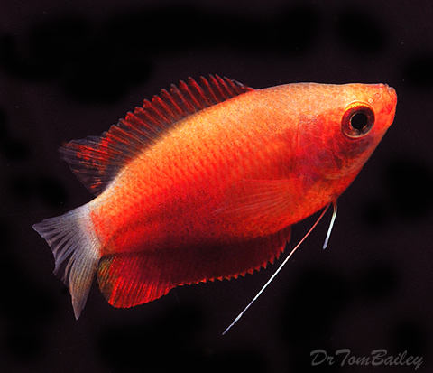 "Premium Sunset Honey Gourami, 1"" to 1.5"" long"