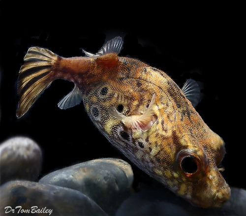 "Premium and Rare, Freshwater King Kong Pufferfish, 3"" to 3.5"" long"