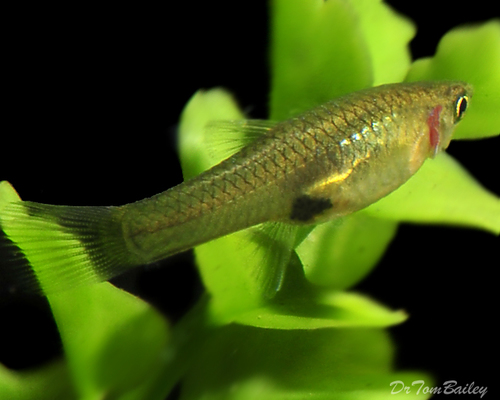 "Premium Female Endler's Livebearer,  1"" to 1.2"" long"