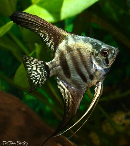 """Premium Zebra Angelfish, 2"""" to 2.5"""" tall"""