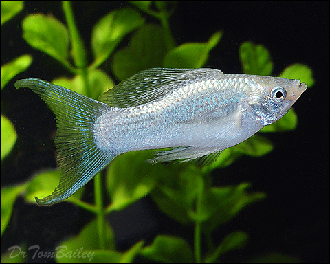 "Premium Silver Lyretail Molly, 2"" to 2.5"" long"
