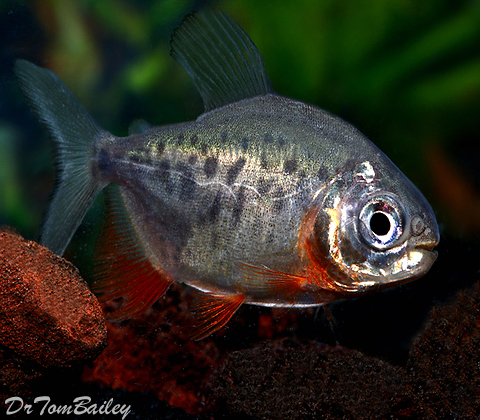 "Premium Red Belly Pacu, 1.5"" to 2"" long, grows much bigger"