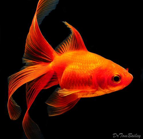 """Premium Red Fantail Goldfish, 2.5"""" to 3"""" long"""