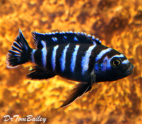 "Premium Chindongo Demasoni, Dwarf Mbuna Cichlid from Lake Malawi, 2"" to 2.5"" long"