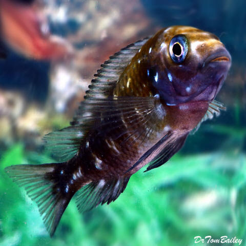 "Premium Lake Tanganyika Spotted Tropheus Duboisi Cichlid, 2"" to 2.5"" long, really cute!"